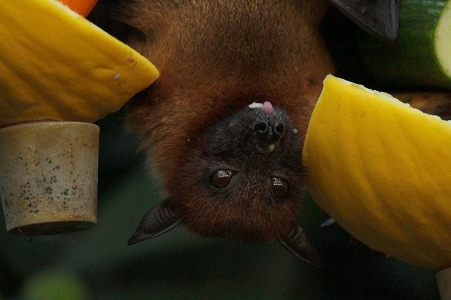 Imagem de morcego de cabeça para baixo comendo melão