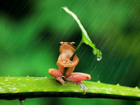 Imagem de sapo na chuva segurando folha